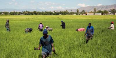 In Haiti, Golden Hopes in a Yellow Grain
